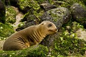 stock photo of sea lion  - Portrait of cute brown baby sea lion leaning on a rock in San Cristobal, Galapagos Islands, Ecuador ** Note: Shallow depth of field - JPG
