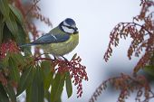 stock photo of tit  - a blue tit is perched on a branch - JPG