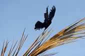 pic of mystical  - This mystical spiritual black bird sorcereir s taking flight against a bright blue background - JPG