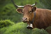 foto of limousine  - Limousine cow wearing a bell - JPG