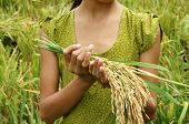image of food crops  - World food security a global problem famine at africa children need to help poor people need food to live kid hand with sheaf of paddy on Asia rice field - JPG