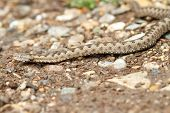foto of nose  - european nose horned viper on gravel  - JPG