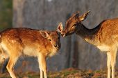 pic of deer family  - fallow deer doe and her baby  - JPG