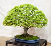 image of bonsai tree  - Big bonsai tree species Acer Palmatum in a blue vase neutral background - JPG