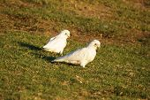 stock photo of cockatoos  - Two corella cockatoos sitting on a grassy hill in Victoria - JPG