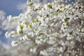 stock photo of flourish  - the spring in the garden  - JPG