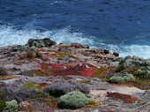 image of chase  - Succulent plants on the rocks of Flinders Chase on Kangaroo island in Australia - JPG