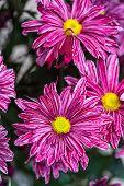 foto of red meat  - red Chrysanthemum flower in the garden - JPG