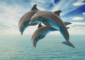 stock photo of bottlenose dolphin  - three jumping dolphins - JPG