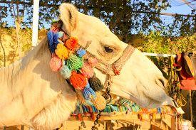 foto of camel  - Camel - JPG