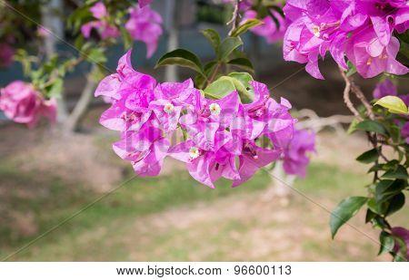 Pink Bougainvilleas