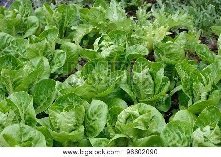 Lettuces In Garden. Little Gem Romaine.