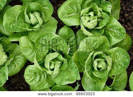 Little Gem Romaine Lettuce.