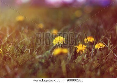 Sunny dandelion in the field