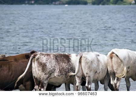 Cows Close To Sea