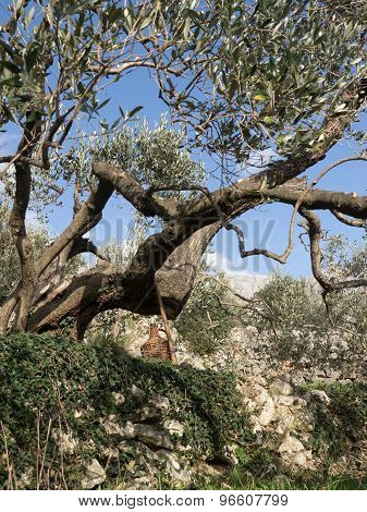 Olive Tree And Blue Sky
