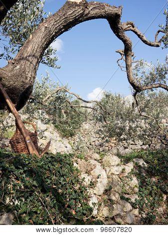 Olive Tree Scene