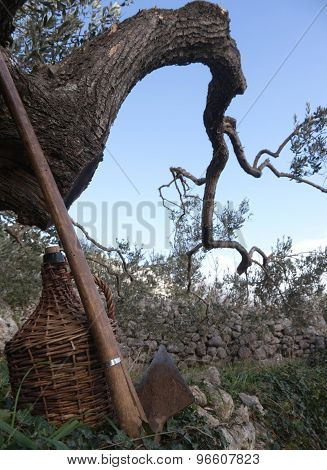 Shovel And Old Wine Barrel Below Olive Tree