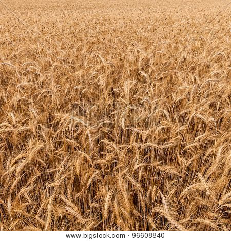 A Ripe Rye Field Background