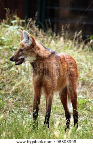 Maned wolf (Chrysocyon brachyurus). Wild life animal.