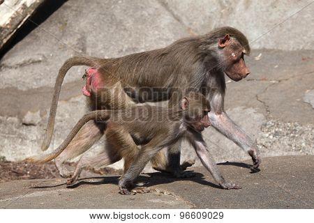 Female Hamadryas baboon (Papio hamadryas) with a baby. Wild life animal.