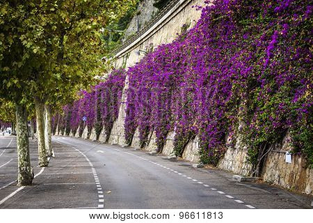 Mediterranean flowering shrub pink bougainvillea climbing stone wall  at beach road in Villefranche-sur-Mer, France
