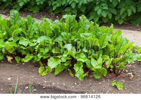 Beetroot Plants In Full Leaf In A Garden