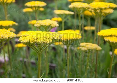 Yellow Achillea Flowers In A Garden Border