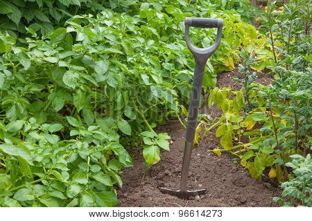 Old Garden Spade Digging Potatoes