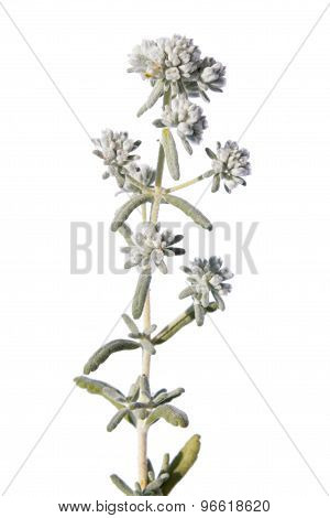 Felty Germander (Teucrium polium) isolated on white