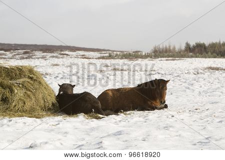 Hay Feeding For Icelandic Horses In Winter