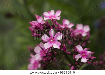 Pink Primula Flower
