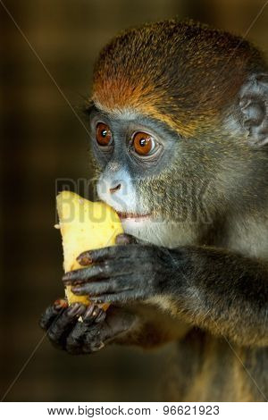 Portrait of Lesser Spot-Nosed Monkey