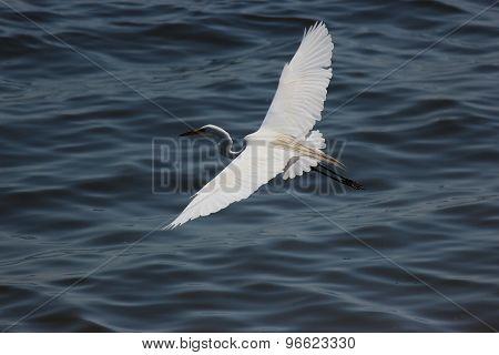 Great Egret soaring over water