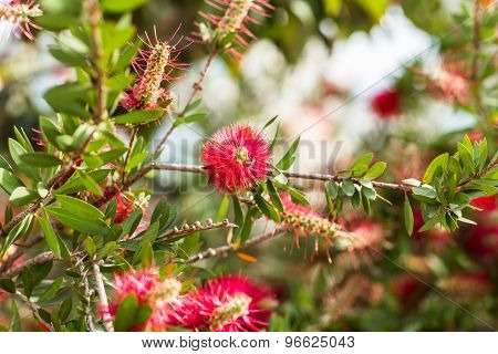 fluffy red flower and a bee