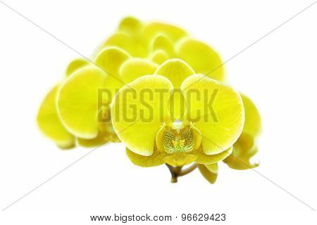 Exotic Color Orchid Flower Isolated On White Background