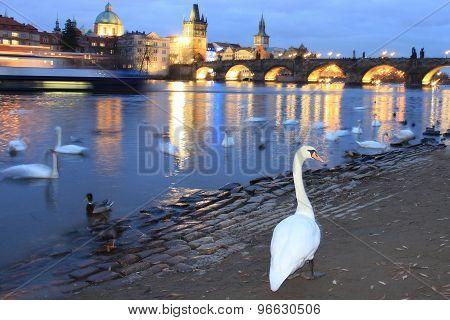 Swan Night In Prague