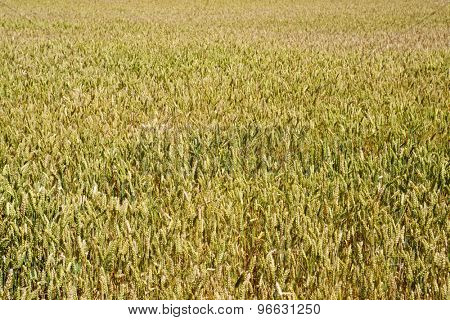 Background created with a close up of a cereal field.