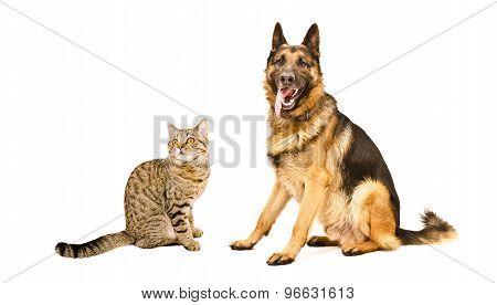 Cat Scottish Straight and German Shepherd