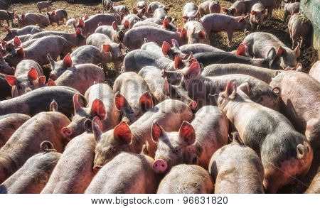 Lots of Piglets in Pig Pen