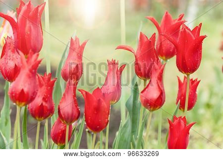 Beautiful Red Tulips Growing In The Flowerbed
