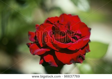 Wild Red Rose In The Center On A Green Background With Selective Focus Bokeh
