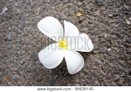 white plumeria on the floor