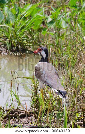 Red Wattled Lapwing Bird