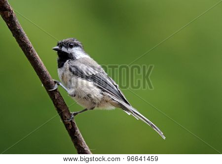Summertime Chickadee