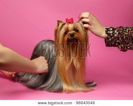 Grooming Yorkshire Terrier Dog With Long Hair Stands On Pink