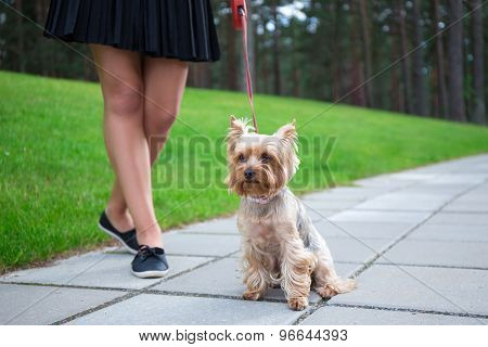 Girl Walking With Dog Yorkshire Terrier In Park