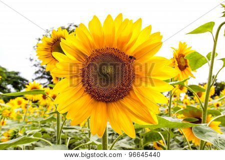 Bright dazzling yellow color sunflower growing on a agriculture farmland
