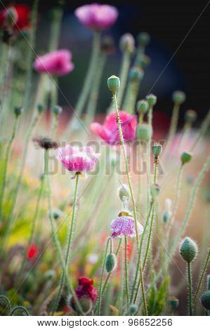 Opium Poppy Flower In Garden At Angkhang Mountain Thailand
