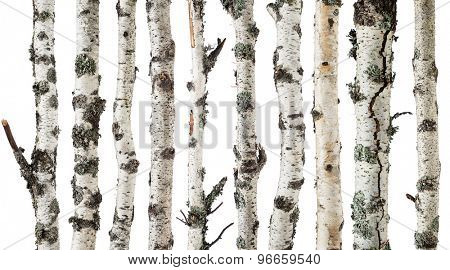 Birch trunks isolated on white